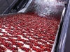 Cherries flow cushioned in water and cooled belts down the pack line.